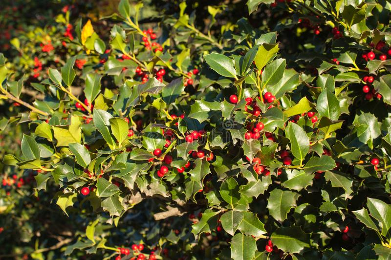 Holly Leaves and Red Berries Bush, Nature View in a Park on a Sunny Day.  royalty free stock image