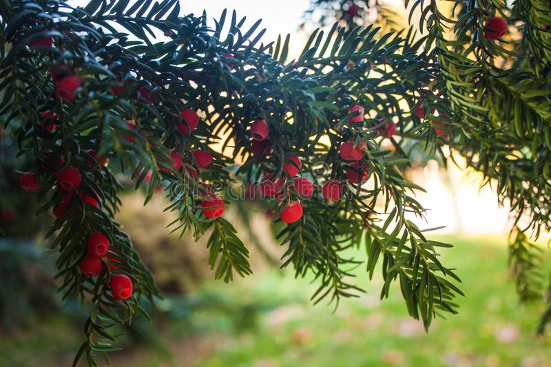Holly Leaves and Red Berries Bush, Nature View in a Park on a Sunny Day.  stock images
