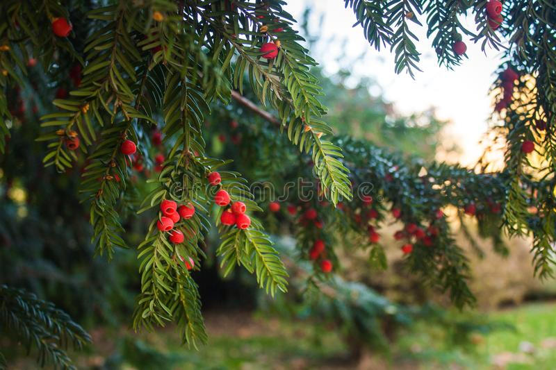 Holly Leaves and Red Berries Bush, Nature View in a Park on a Sunny Day.  royalty free stock photography