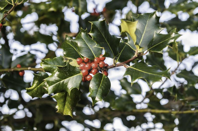 Holly leaves with red berries. On a chilly winter`s day at Christmas stock photography