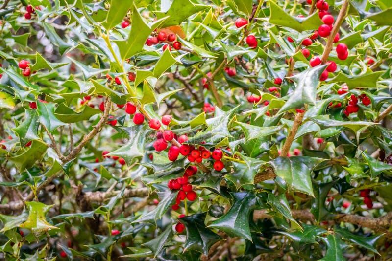 Holly Leaves y bayas en AveryIsland, Luisiana imagen de archivo