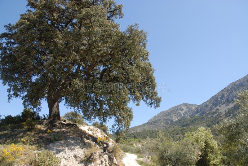 Oak tree - Quercus ile...