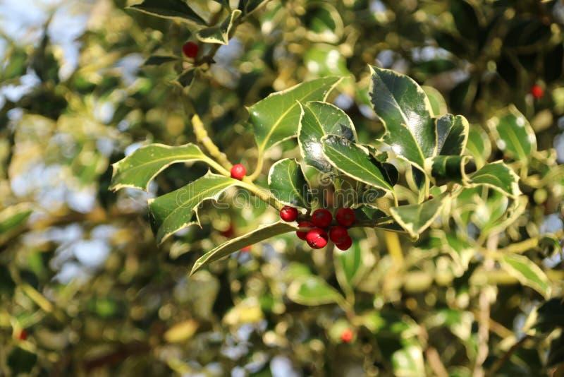 Holly with red berries in the autumn season in public park Schakenbosch in Leidschendam. Holly with red berries in the autumn season in public park Schakenbosch royalty free stock photography