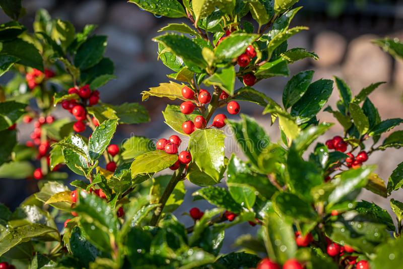 A holly with red ripe fruits on the shrub stands in the morning sun and the leaves are still covered with morning dew. Holly with red ripe fruits on the shrub royalty free stock images