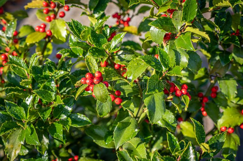 Holly with red ripe fruits on the shrub stands in the morning sun and the leaves are still covered with morning dew. A holly with red ripe fruits on the shrub stock images