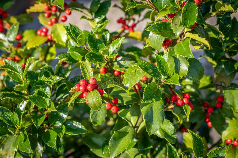 Holly with red ripe fruits on the shrub stands in the morning sun and the leaves are still covered with morning dew. A holly with red ripe fruits on the shrub stock photography