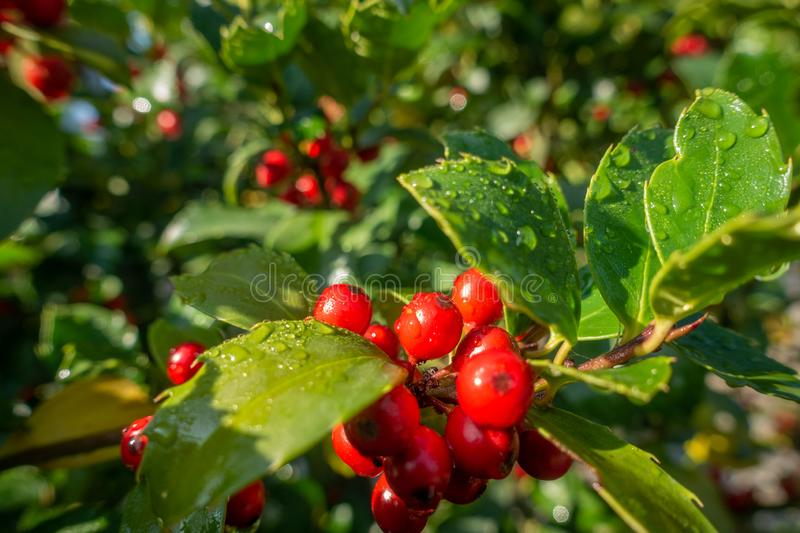 Holly with red ripe fruits on the shrub stands in the morning sun and the leaves are still covered with morning dew. A holly with red ripe fruits on the shrub royalty free stock image