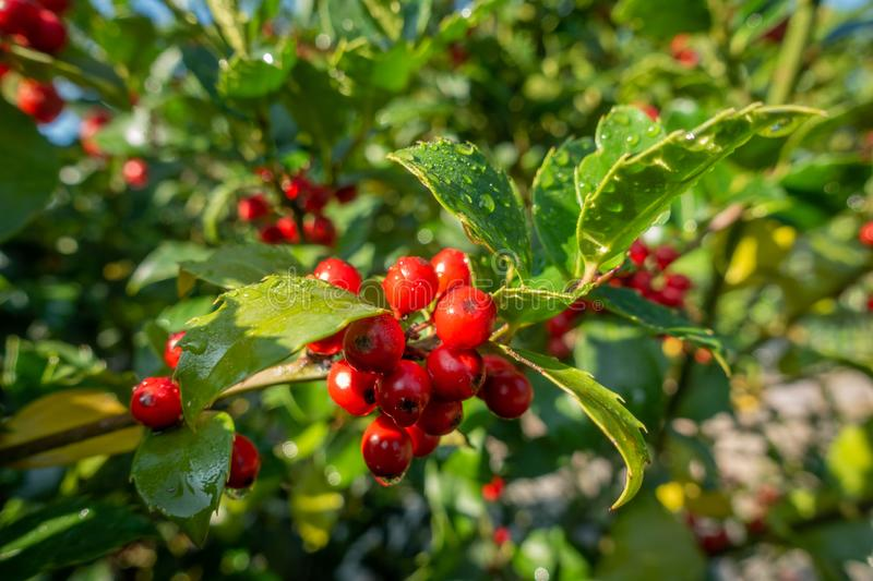 A holly with red ripe fruits on the shrub stands in the morning sun and the leaves are still covered with morning dew. Holly with red ripe fruits on the shrub stock images