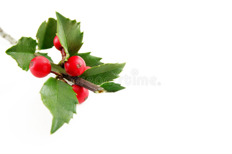 Holly Sprig. A sprig of holly isolated on a white background with room for your text stock image
