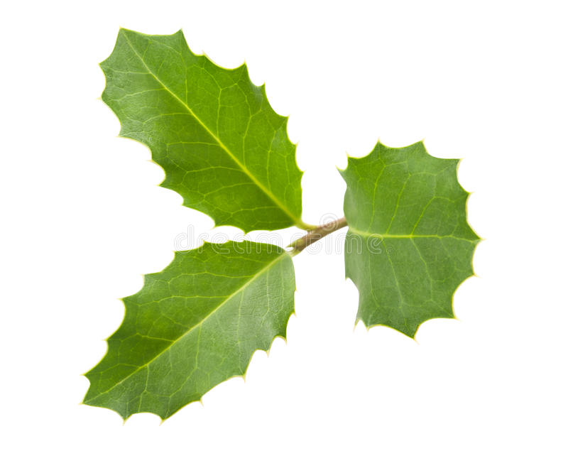 Holly sprig. Isolated on white royalty free stock photography