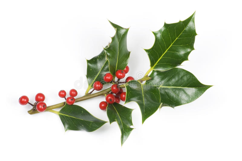 Holly_sprig_large_isolated foto de stock
