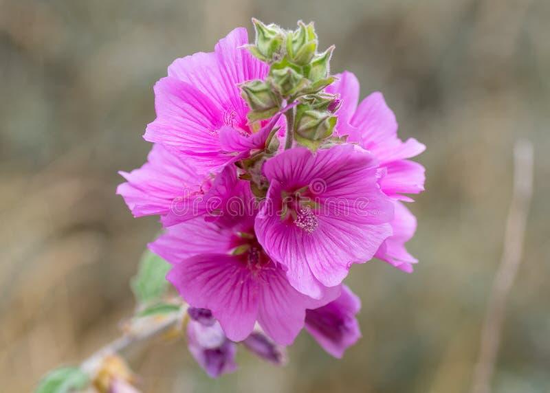 Hollyhock Alcea rosea kwiaty obrazy stock