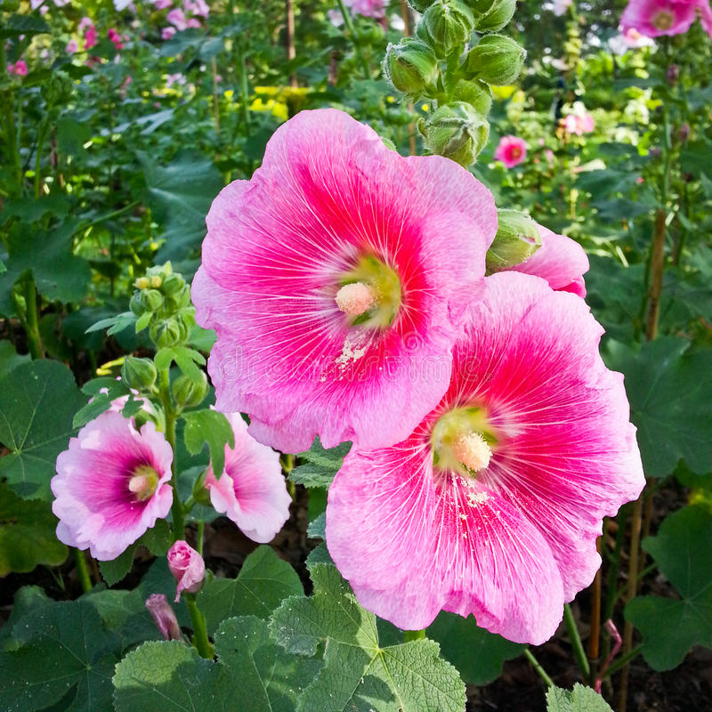 Hollyhock or alcea rosea l. stock images