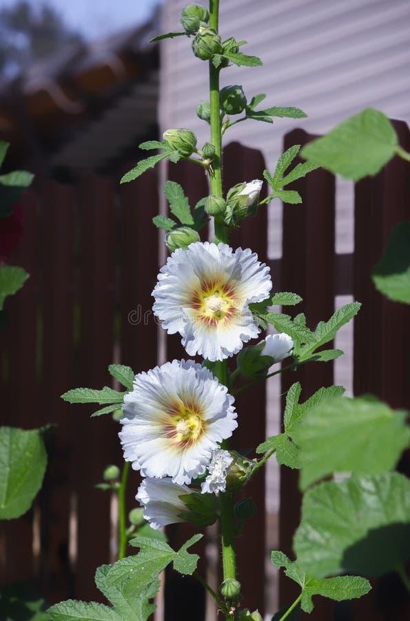Hollyhock lub Malva kwiat W Ogrodowym zbliżeniu zdjęcie royalty free