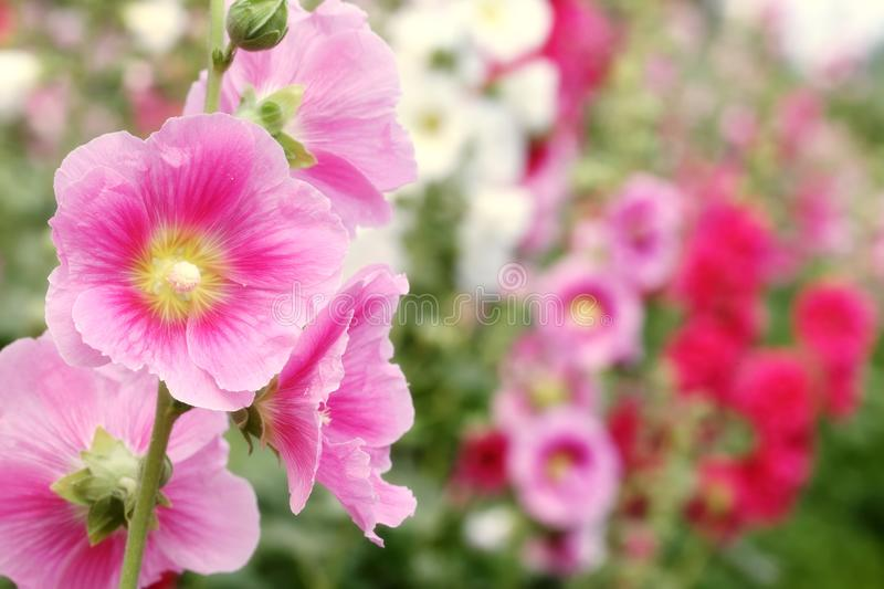Hollyhock rose images stock