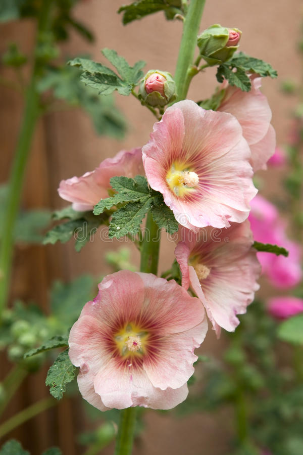 Download Hollyhocks stock photo. Image of stamen, bloom, nature - 14858328