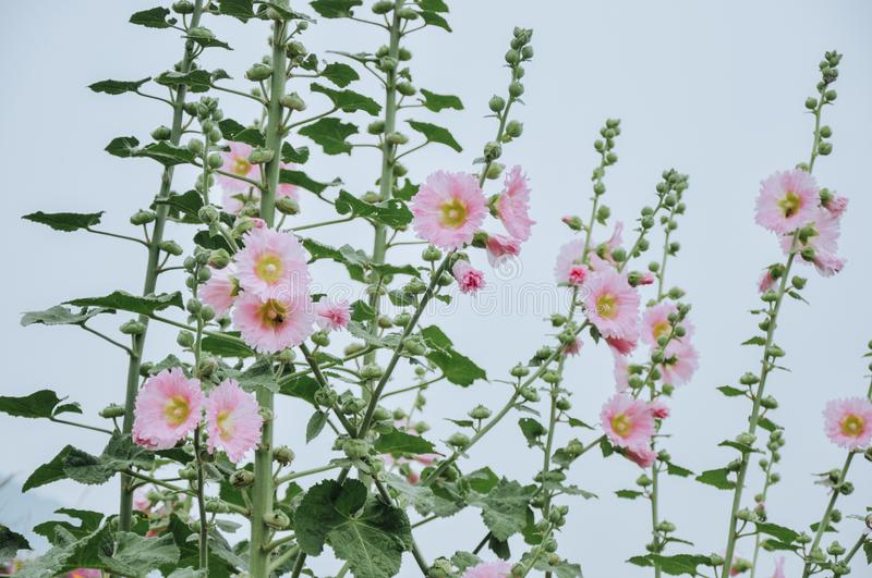 Hollyhocks are blooming royalty free stock photo