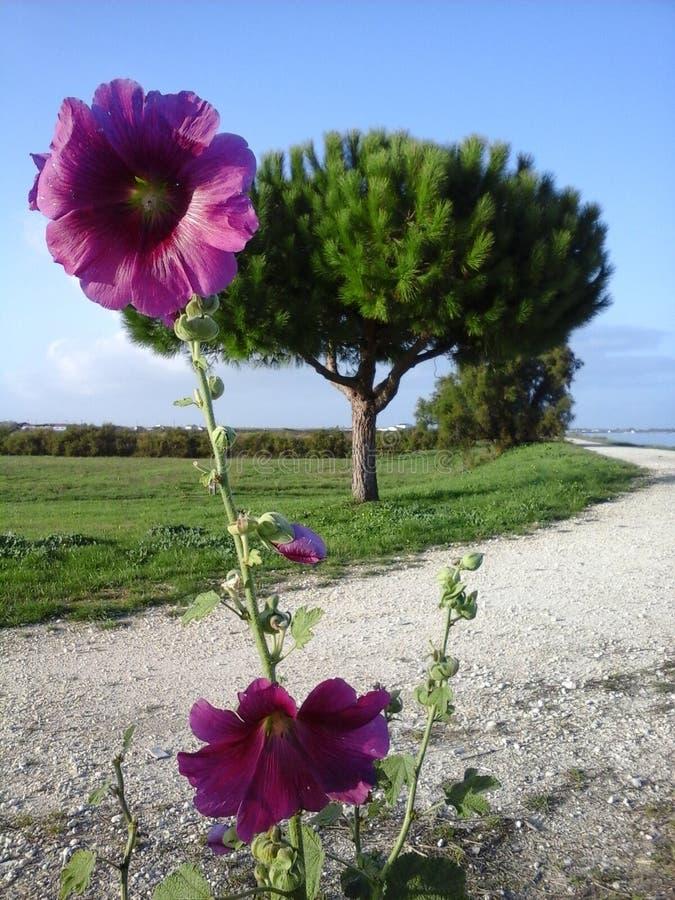 Hollyhook dans les Frances d'île d'Oléron photo stock