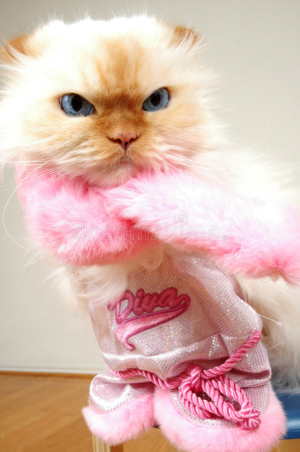Hollywood Diva. Cad dressed like a Diva. Lexus the cat royalty free stock photo