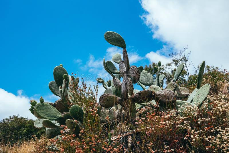 Cacti against the blue sky. Tropical climate of California royalty free stock photos