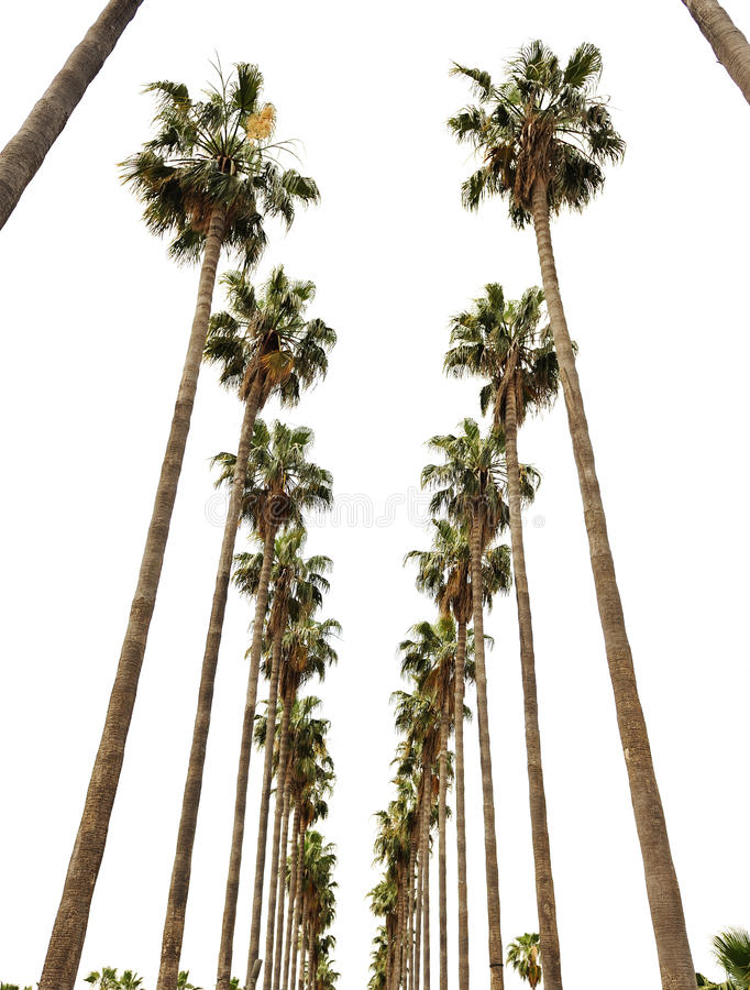Free Hollywood Palms Royalty Free Stock Photography - 16501137