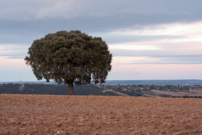 Download Holm oak stock photo. Image of quercus, horizon, holm - 23469726