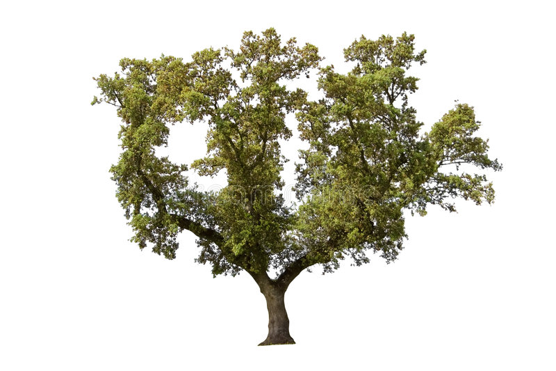 Download Holm oak stock image. Image of tree, holm, white, trunk - 4949847