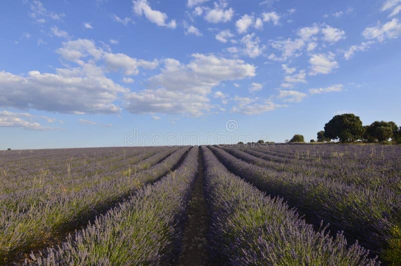 Holm Oak Forest Next To-Rijen van Lavendel met een Hemel met Mooie Wolken in een Brihuega Weide Aard, Installaties, Geuren, Lands stock afbeeldingen