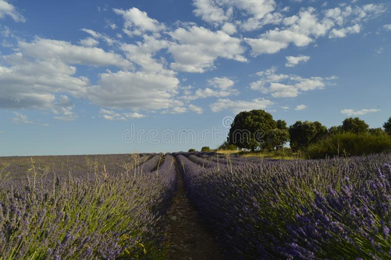 Holm Oak Forest Next To Rows Of Lavender With A Sky With Lovely Clouds In A Brihuega Meadow. Nature, Plants, Odors, Landscapes. royalty free stock photo
