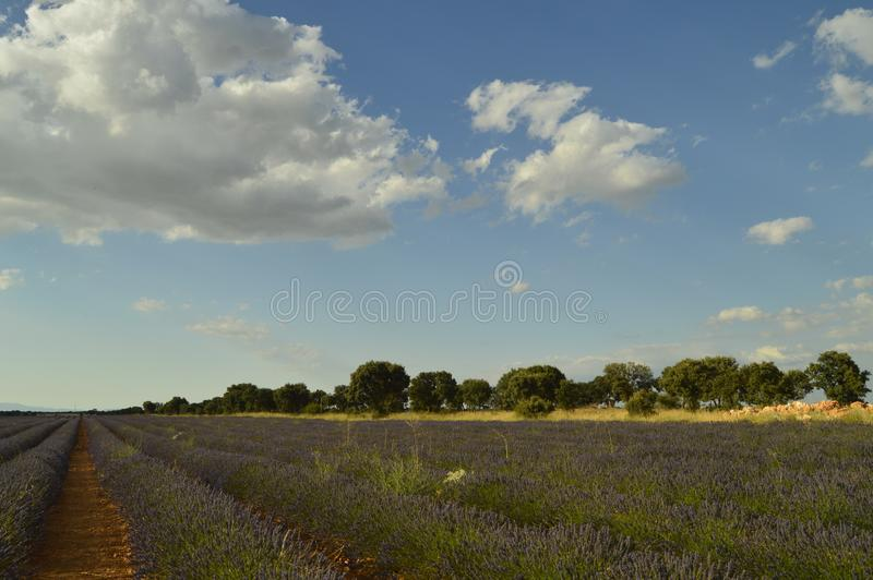Holm Oak Forest Next To Rows Of Lavender With A Sky With Lovely Clouds In A Brihuega Meadow. Nature, Plants, Odors, Landscapes. stock image
