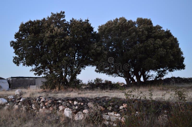 Holm Oak At Sunset In gemellato prezioso Becerril Viaggio di feste del paesaggio fotografia stock libera da diritti