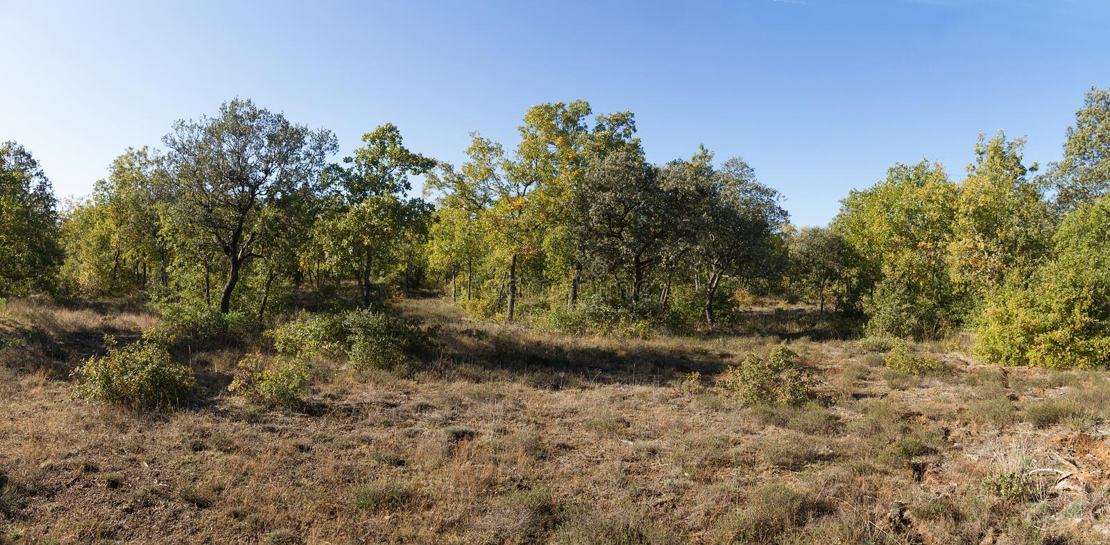 Holm Oaks Forest royalty free stock photography