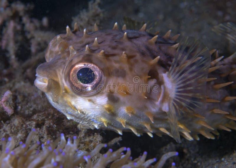 Holocanthus del Diodon di pesce palla dell'istrice fotografia stock libera da diritti