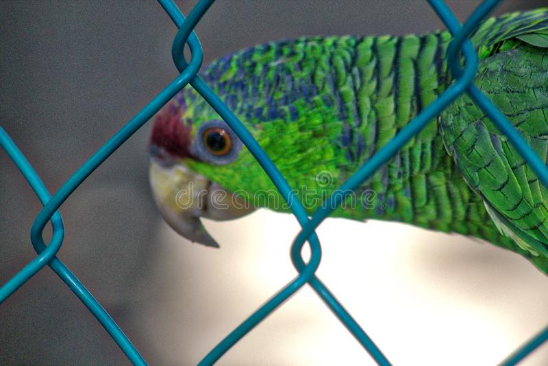 Holochlorus Psittacara, μεξικάνικο πράσινο parakeet στην αιχμαλωσία, λιμνοθάλασσα του oaxaca ventanilla, México στοκ εικόνα