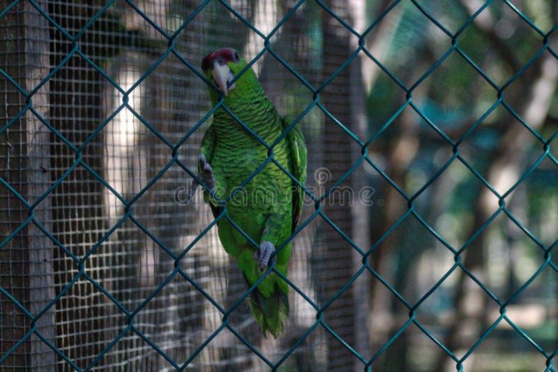 Holochlorus Psittacara, μεξικάνικο πράσινο parakeet στην αιχμαλωσία, λιμνοθάλασσα του oaxaca ventanilla, México στοκ φωτογραφία