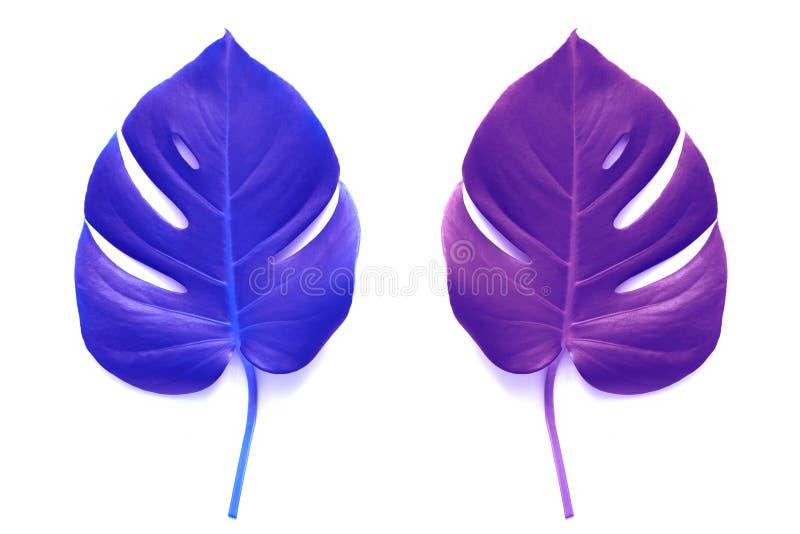 Holographic färger för sidamontser på en vit bakgrund Blå och purpurfärgad färg för tropiskt sidaneon Lekmanna- l?genhet arkivfoton