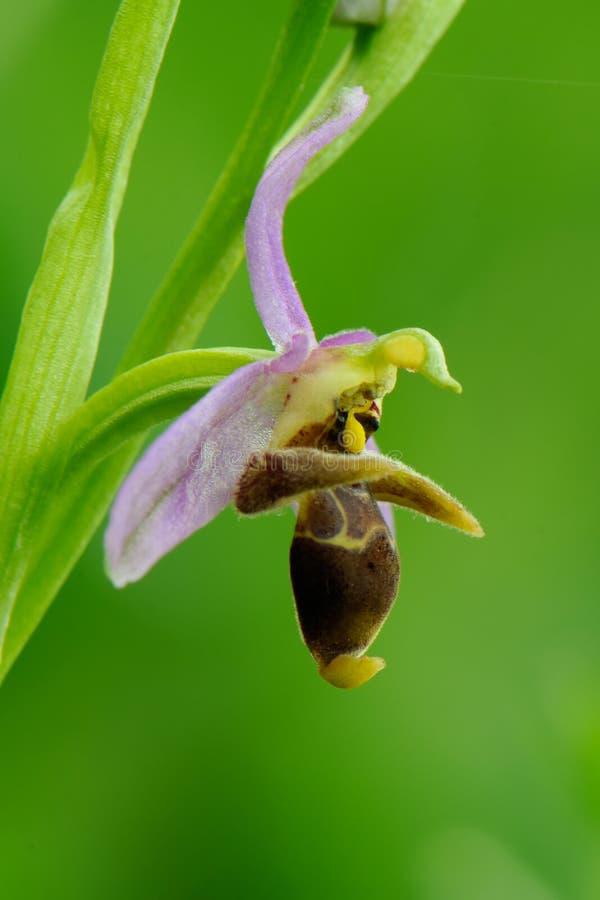 Holoserica di ophrys del fiore nella fine selvaggia su nel pomeriggio di primavera in una radura della foresta fotografia stock libera da diritti