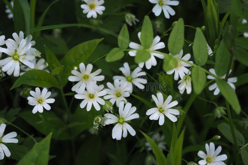 Holostea del Stellaria de las flores blancas, cierre seleccionado del foco para arriba foto de archivo