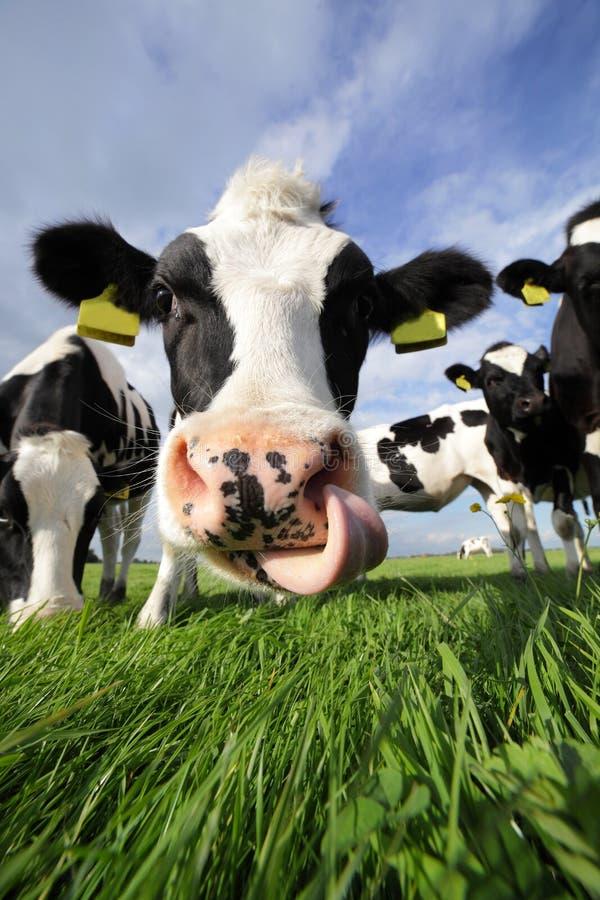Holstein blidkar arkivfoto