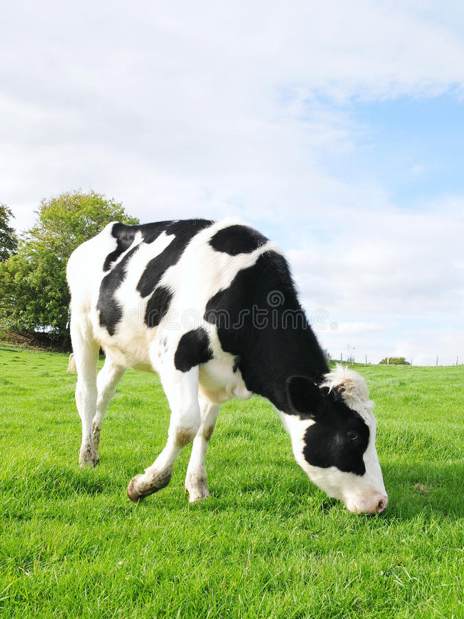 Download Holstein Calf stock photo. Image of domesticated, chewing - 25132018