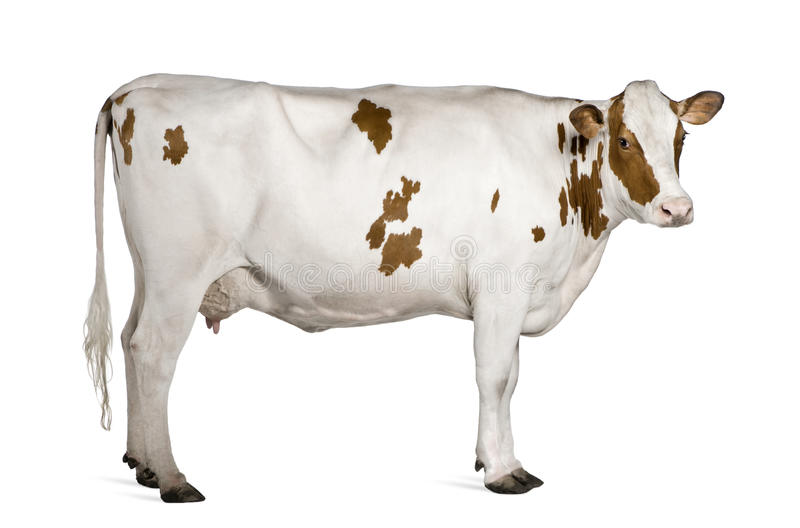 Holstein cow, 4 years old, standing stock photography