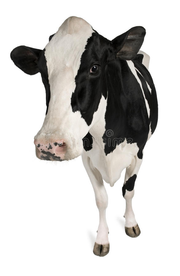 Download Holstein Cow, 5 Years Old, Standing Stock Photo - Image: 14886224