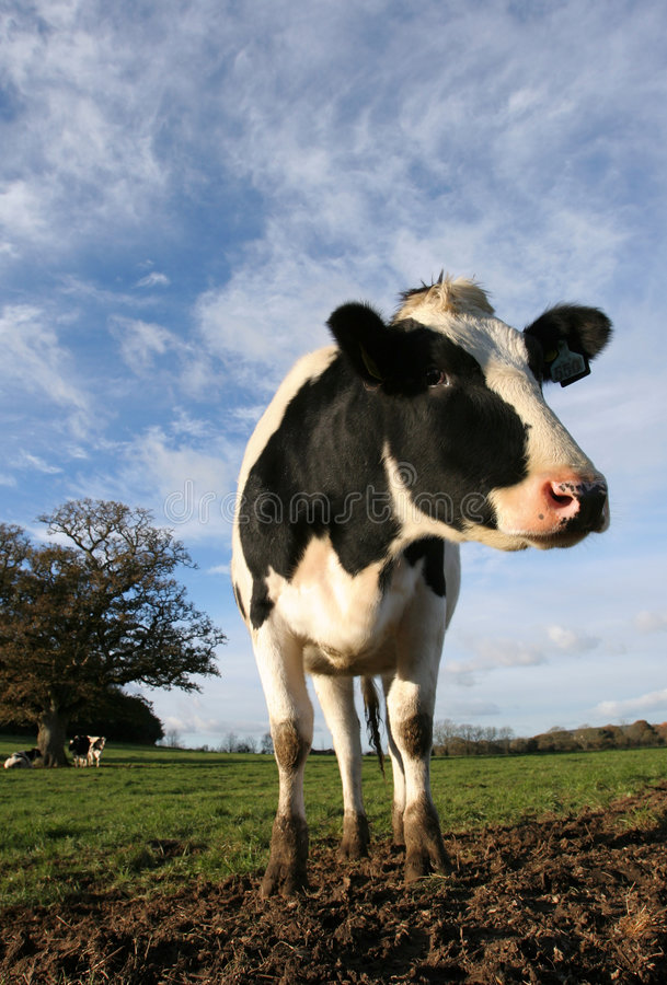 Holstein Cow in Field royalty free stock photo