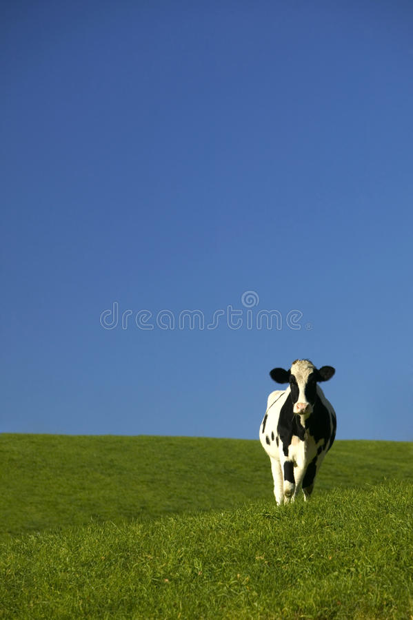 Holstein Cow in Green Field with Blue Sky stock image