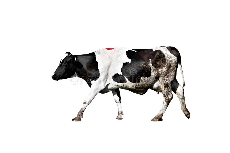 Holstein cow on isolated white background royalty free stock photography