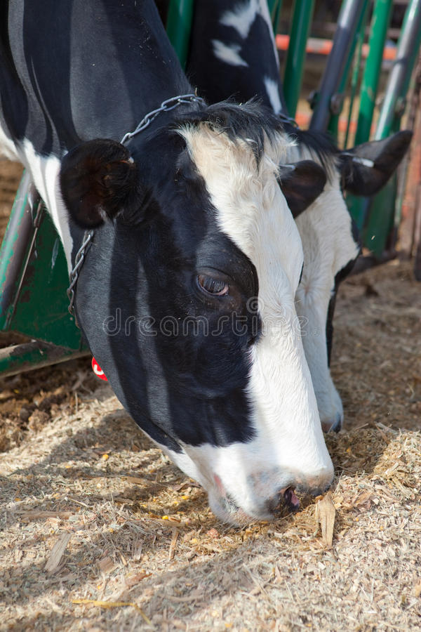 Download Holstein Cows Eating stock photo. Image of rural, agricultural - 13732550