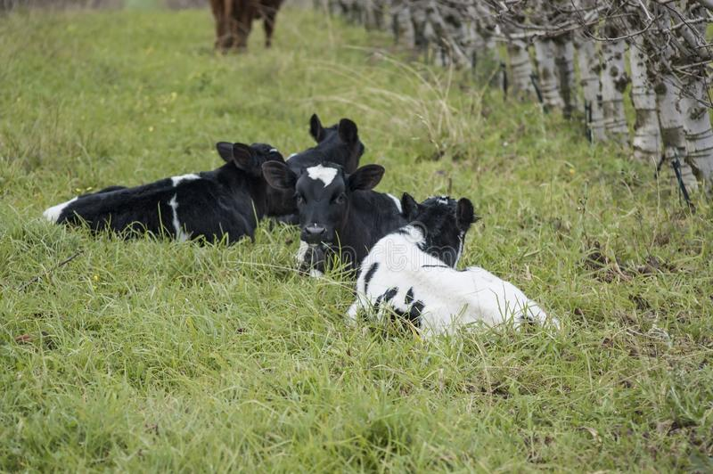 Holstein Friesian  calves lying down. On green grass in orchard during winter calf agriculture animal beef black breed brown bull cattle copy space countryside royalty free stock photography