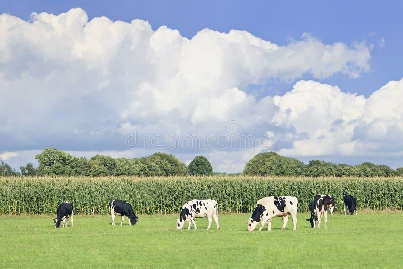 Holstein-Friesian nötkreatur i en grön holländsk äng, royaltyfria foton