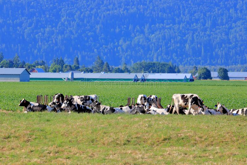 Holstein-Friesian vila för nötkreatur fotografering för bildbyråer