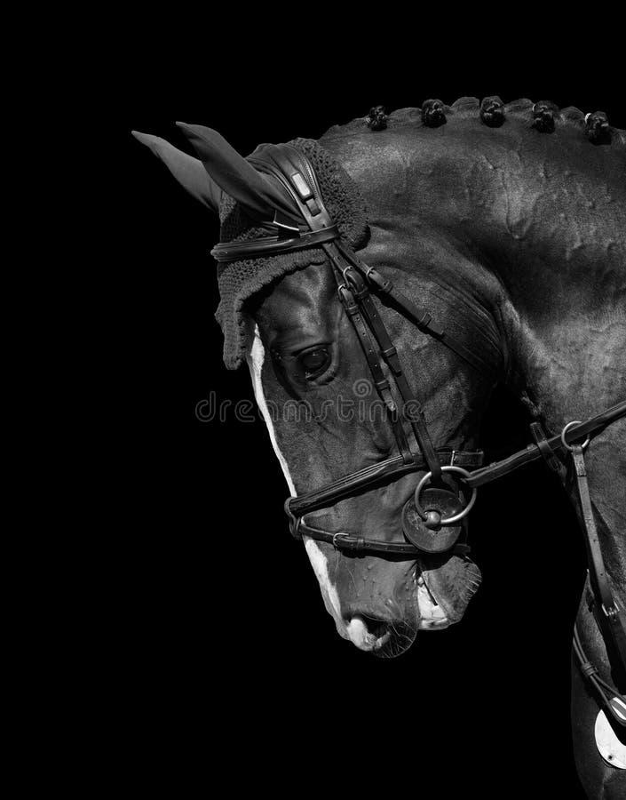 Holstein häst royaltyfria foton